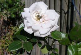 Insel-Rose