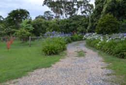 Agapanthus Line the driveway