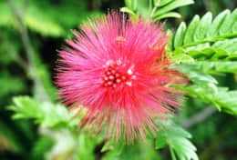 bottle brush flower (lehua