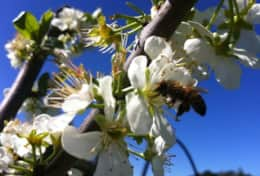 Bees in the orchard