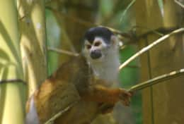 Squirrel Monkey in the Garden