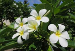 The frangipani - a brnadmark of a tropical island