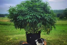 Crypto the dog loves to rest in the shade of the cannabis plant!