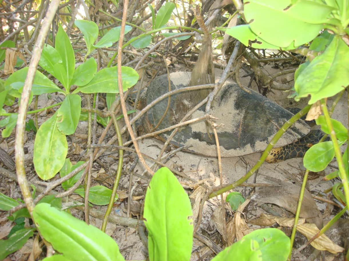 Sea turtle nesting in the garden of the Beach House